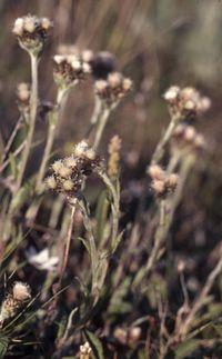 Antennaria alpina.jpg