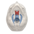 Anterior horn of lateral ventricle - 06.png
