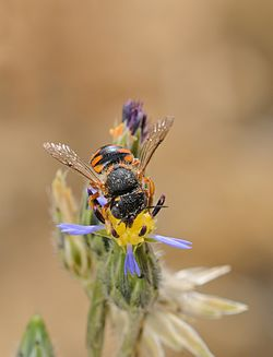 Anthidium auritum female 1.jpg