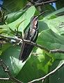 Anthracothorax prevostii Mango Pechiverde Green-breasted Mango (15566468642).jpg