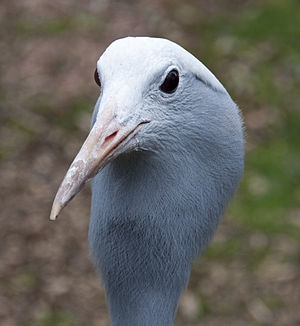Blue crane - Image: Anthropoides paradiseus Birmingham Nature Centre, Cannon Hill Park, England head 8a
