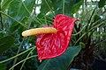 Anthurium andraeanum kz01.jpg