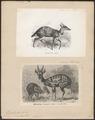 Antilope scripta - 1700-1880 - Print - Iconographia Zoologica - Special Collections University of Amsterdam - UBA01 IZ21400041.tif