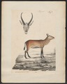 Antilope spec. - 1835 - Print - Iconographia Zoologica - Special Collections University of Amsterdam - UBA01 IZ21400053.tif