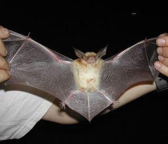 Pallid bat - Wingspan of the pallid bat