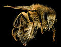 Apis mellifera, F, Side, MD, Granite, marian 2014-01-26-11.36.20 ZS PMax (12756517263).jpg