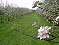 Apple Trees in Blossom, Pomona Farm - geograph.org.uk - 293333.jpg
