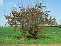 Apple tree with blossom about to break. - geograph.org.uk - 407620.jpg