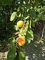 Apricot tree, 2019 Ajka.jpg