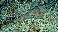 Aptychotrema rostrata n solitary is.jpg