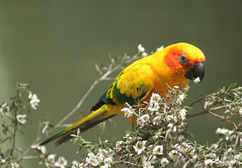 Sun Parakeet (also known as Sun Conure) perchi...