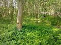 Arbres et arbustes non-identifiés à Grez-Doiceau 007.jpg