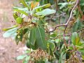 Arbutus andrachne Strawberry Tree ხემარწყვა.JPG