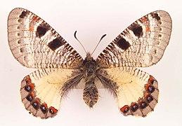 Archon apollinus female beirut ulster.jpg