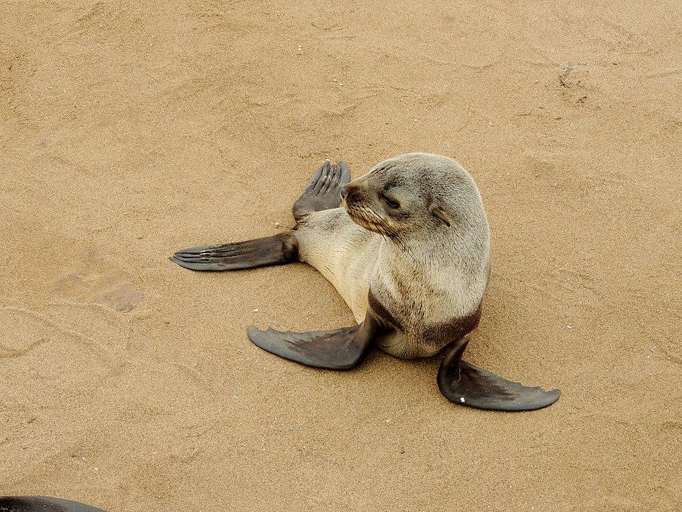 Arctocephalus pusillus 4 - Cape fur seal
