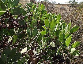 Arctostaphylos rainbowensis.jpg
