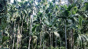 Areca catechu - Intensive farming of Areca catechu at a spice plantation in Curti, Goa.