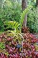 Areca catechu - McKee Botanical Garden - Vero Beach, Florida - DSC02962.jpg