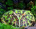 Argentine horned frog (Ceratophrys ornata).jpg