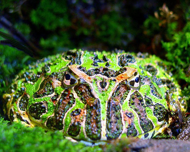 750px-Argentine_horned_frog_(Ceratophrys