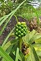 Arisaema tortuosum var. tortuosum at Tadiyantamol (1).jpg