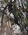 Arizona Woodpecker (33206337803).jpg