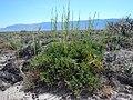 Artemisia nova (18864456126).jpg