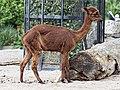 Artis Alpaca (36375830792).jpg