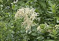 Aruncus vulgaris, Giresun 2017-07-07 01-2.jpg