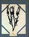 Ascophyllum nodosum Agathe Le Gourcuff.jpg