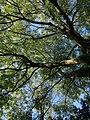 Ash tree at Bowden - geograph.org.uk - 578639.jpg