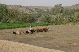 Agriculture in Sudan - Farming on Sherari Island, Dar al-Manasir, northern Sudan.