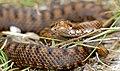 Asp Viper (Vipera aspis) female (found by Jean NICOLAS) (35565228091).jpg