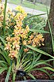 Asparagales - Cymbidium 'Latigo' Cooksbridge Sunset - 1.jpg
