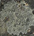 Aspicilia knudsenii - Flickr - pellaea.jpg
