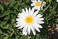 Asteraceae spec 003.jpg