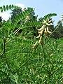 Astragalus falcatus 2007.05.24.JPG