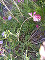 Astragalus leontinus cf1.JPG