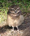 Athene-cunicularia-burrowing-owl-0b.jpg