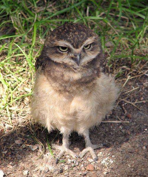 Ficheiro:Athene-cunicularia-burrowing-owl-0b.jpg