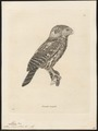 Athene occipitalis - 1700-1880 - Print - Iconographia Zoologica - Special Collections University of Amsterdam - UBA01 IZ18400043.tif