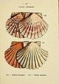 Atlas de poche des coquilles des côtes de France (Manche, océan, Méditerranée) communes, pittoresques ou comestibles (Pl. 33) (6311726439).jpg
