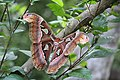 Atlas moth from patolla 01.jpg