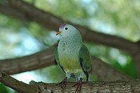 Atoll Fruit-dove (Ptilinopus coralensis)