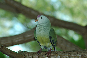 Description de l'image Atoll Fruit-dove (Ptilinopus coralensis).jpg.