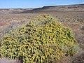 Atriplex canescens plant-9-16-04.jpg