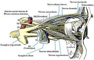 Ciliary ganglion parasympathetic ganglion located just behind the eye in the posterior orbit