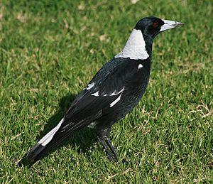 Australian magpie - G. tibicen tibicen in Sydney