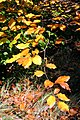 Autumn leaves in Brandon Park - geograph.org.uk - 1011861.jpg