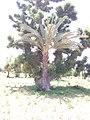 BAOBAB tree with DATE PALM tree sharing the same root. in Gezawa village Kano state (11).jpg